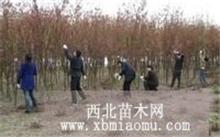 金丝垂柳的栽培技术,常青树的资料落叶树