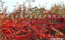 金丝垂柳 的 界门纲目科属种,金丝垂柳是怎样剪枝的?