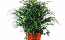 独杆青香树的种植,橡皮树独杆