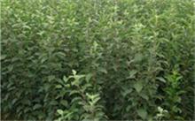 黄花梨树的种植技术,黄花梨树在什么时候种植较好?