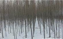 简述常用的金叶榆的繁殖方法。,金叶复叶槭与金叶榆用途的区别?
