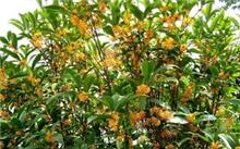 最新桂花树价格?
