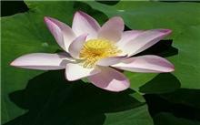 荷花种苗怎样种?荷花夏天开花栽培中最忌讳什么?