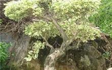 黄栌盆景怎么养?