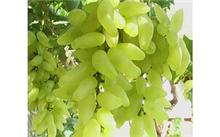 山东烟台地区金手指葡萄几月熟,金手指葡萄可以盆栽吗?