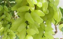 金手指葡萄的发展前景,金手指葡萄苗的介绍