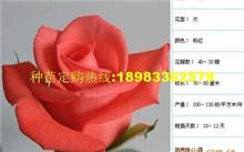 关于玫瑰的价钱,梦幻玫瑰价格问题!