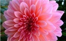 我家的大丽花可能要死了,怎样培植大丽花?