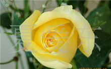 玫瑰花一般多少钱??玫瑰花的价值