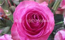 情人节玫瑰花价格,最近玫瑰花的价格多钱?