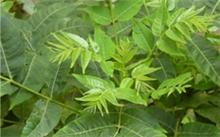 香椿树种子的用途,这是什么树种子。?