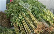 求香椿树种子的知识,以及的培育,请问这是什么树,种子有什么用?