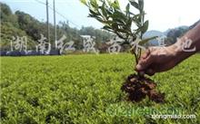 要怎么使盆栽栀子花不黄叶子呢?