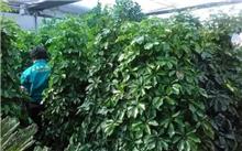 清香木种植问题,清香木与胡椒木的区别
