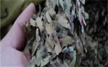 怎样培育苹果矮化中间砧苗?
