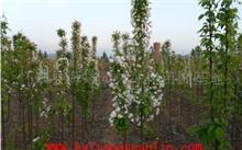 海棠树苗几年结果?哪里有海棠苗木?