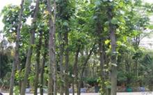 石竹花能在室内阳养吗?怎样种植石竹花?