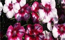 石竹花是康乃馨的一种 吗?如何折石竹花?