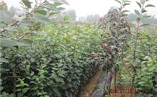 如何种植矮化华硕苹果苗?种植矮化苹果苗要注意哪些?