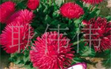 玛格丽特花有几片花瓣,大波斯菊与玛格丽特花的区别
