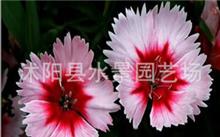 请问广东能种石竹花吗?石竹花的用途