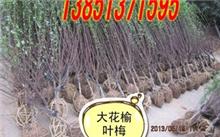 矮化苹果树苗怎么分辨?