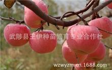 种植矮化苹果苗有什么优点?矮化苹果苗什么品种好?