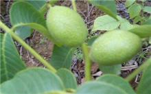 山东种新品种矮化苹果苗去哪里买苗?