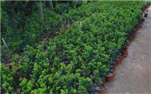 石竹花与康乃馨有什么区别?石竹花的花语是什么..?