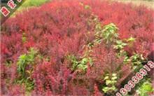 上海哪里的海棠树苗质量好?