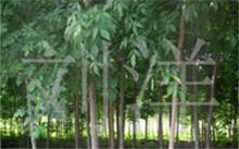 石竹花的形态特征