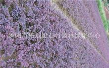 石竹花的种类以及区别有哪些?石竹花的形状?