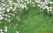 石竹是什么意思?