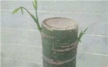 四季桂花的养殖方法和注意事项