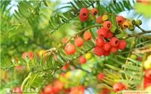 红豆杉的功效与作用是真的吗?红豆杉结的果子可以吃吗?