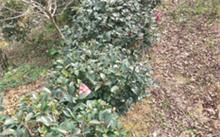 园林绿化苗圃技术规程,复叶槭的栽培技术