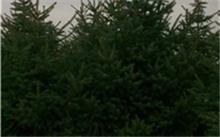 丹东地区那里有樟子树苗出售??2米到3米油松国家补偿标准