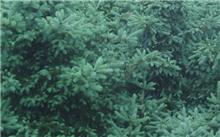 谁知道油松和黑松是一种树吗?怎么区别?