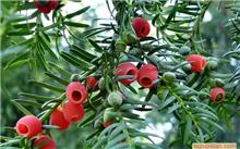 红豆杉是否适合放在室内,室内盆栽红豆杉怎么养殖?