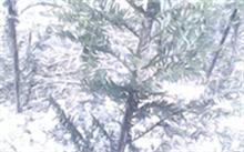 室内红豆杉盆景怎么养?在家里如何种植红豆杉?