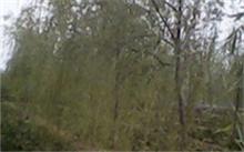 金丝楠苗木种植技术和管理经验 ?