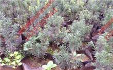 野生红豆杉的作用?红豆杉的药理作用