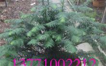 红豆杉树对环境有那些好处,红豆杉的功效与作用主要有哪些?