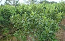 白玉兰树小苗多少钱一棵?