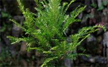红豆杉功效有哪些?红豆杉真的很好吗?