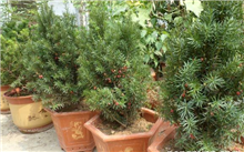 红豆杉的功效与作用有哪些?红豆杉的功效与作用是真的吗?