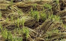 征地苗木补偿标准,松木树苗几年可以成材