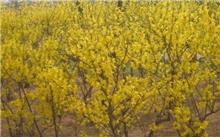现在哪些苗木市场前景比较可观?大香樟树哪里的价格更高?