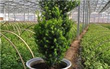 红豆杉的籽什么功效?红豆杉的木材有什么作用?