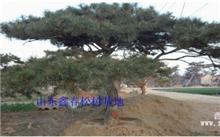 松树的性格特点和它生长的环境,紫衫树果食能食用吗?